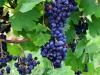 Weinwanderung (48)