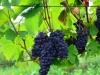 Weinwanderung (51)