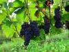 Weinwanderung (52)