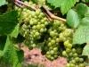 Weinwanderung (55)