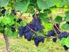 Weinwanderung (62)