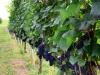 Weinwanderung (63)