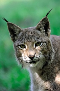 Tripsdrill.WP_Luchs_10