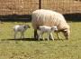 Lämmer im Rauenberger Tierpark geboren