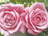 Original Johann Philipp Bronner Rose