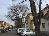 Sechs Kastanien in der Gartenstraße sind nicht zu halten