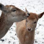 Fotos aus dem Tierpark Rauenberg – Der Nachwuchs das erste mal im Schnee