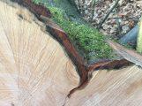 Trockenschäden im Gemeindewald Nußloch