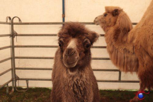 Wieslocher Kamelbaby