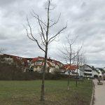 Baumreihe aus Wildobst an der Merian-Schule wird verpflanzt