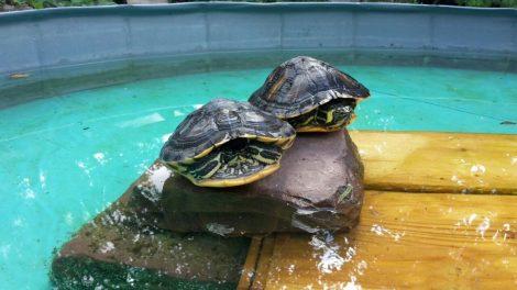 Wasserschildkröten im Tom-Tatze-Tierheim