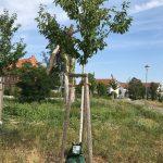 Bewässerungssäcke an Jungbäumen werden systematisch entwendet
