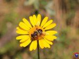 Wildbienengarten Schatthausen – Es blüht, es summt und brummt