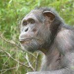 Ein neuer Mitbewohner für die Schimpansen-WG