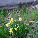 Die ersten Frühlingsboten in Walldorf