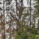 Auffallend viele Dürrständer im Wald