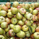 Auf zur Apfelernte in Walldorf am 12. September