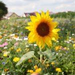 Stadt Walldorf fördert Rückbau von Schottergärten über Umweltprogramm zur Entsiegelung