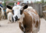 Oftersheim: Drei Ziegen von einem umgestürzten Baum erschlagen