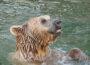 Zoo Heidelberg: Trauriger Abschied im Januar – Syrischer Braunbär gestorben