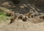Zoo Heidelberg: Sechs junge Präriehunde gesichtet – vorerst!